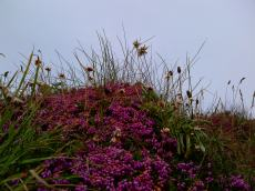 Bedruthan Bell Heather