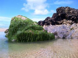 Bedruthan Seaweed