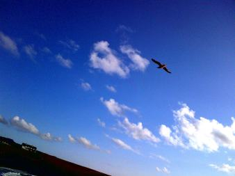 Treyarnon Gull