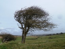 Windblown tree, Freshwater